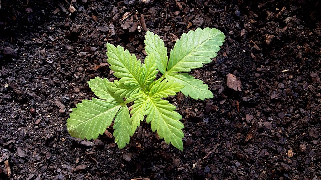 Top 5 Tips For Picking Out the Best Cannabis Seeds